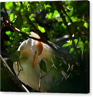 Sunlit Egret Canvas Print by Laura Fasulo