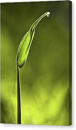Sunlit Grass And Dew Drop Canvas Print by Natalie Kinnear