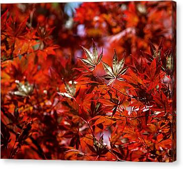 Canvas Print featuring the photograph Sunlit Japanese Maple by Rona Black