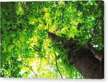 Sunlit Leaves Canvas Print