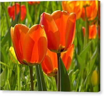 Sunlit Orange Tulips Canvas Print by Rona Black