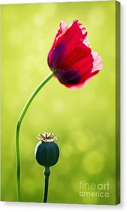 Sunlit Poppy Canvas Print by Natalie Kinnear