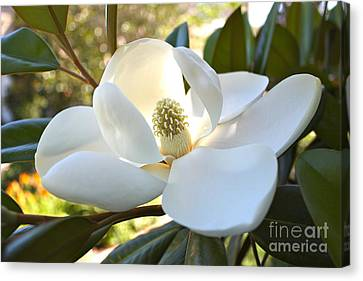 Sunlit Southern Magnolia Canvas Print by Carol Groenen