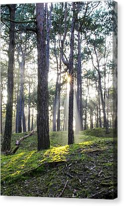 Sunlit Trees Canvas Print