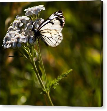 Sunlit Wings Canvas Print by Timothy Hack