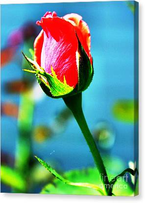 Sunlite Rose Bud Canvas Print by Judy Palkimas