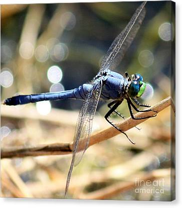 Sunning Blue Dragonfly Square Canvas Print by Carol Groenen