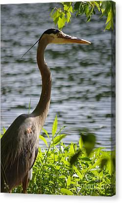 Canvas Print - Sunning Blue Heron by Tannis  Baldwin