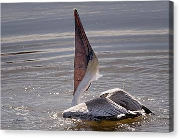 South Carolina State Bird Canvas Print - Sunning Pelican by Joe Granita