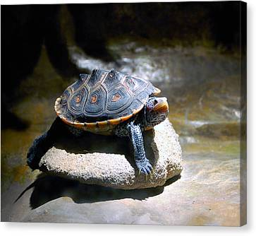 Sunning Terrapin Canvas Print by Donna Proctor