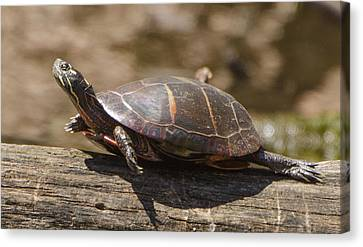 Brian Rock Canvas Print - Sunning Turtle by Brian Rock