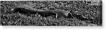 Sunny Alligator Black And White Canvas Print by Joshua House