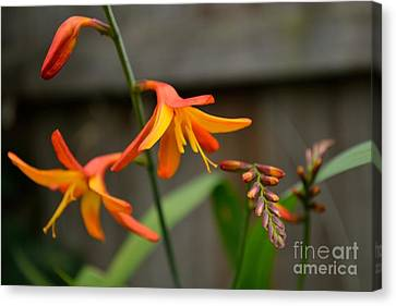 Canvas Print featuring the photograph Sunny Crocosmia by Scott Lyons