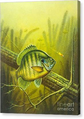 Sunny Day Panfish Canvas Print by Jon Q Wright