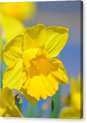 Sunny Days Of The Daffodil Canvas Print by Maria Urso