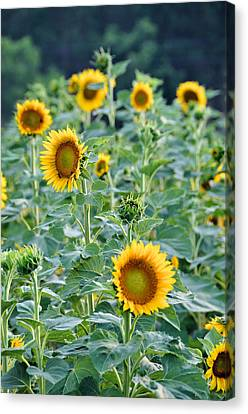 Sunny Faces Canvas Print by Jan Amiss Photography
