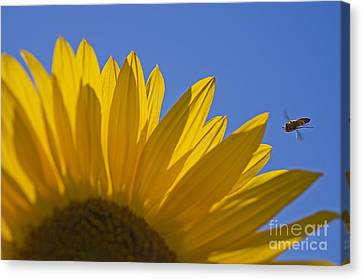 Sunny Fly By Canvas Print by Nick  Boren