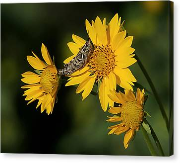 Sunny Hopper Canvas Print by Ernie Echols