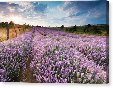 Sunny Lavender Canvas Print