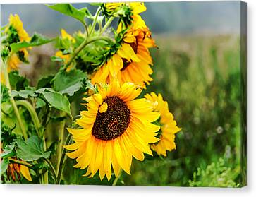 Sunny Meadow 1 Canvas Print by Jenny Rainbow