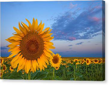 Sunny Side Up Canvas Print by Darren  White