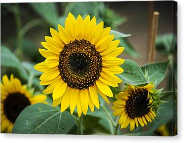 Canvas Print featuring the photograph Sunny Smile Sunflower by Phil Abrams