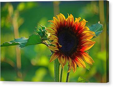 Sunny Sunflower Canvas Print by Denise Darby