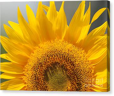 Canvas Print featuring the photograph Sunny Sunflower by Olivia Hardwicke