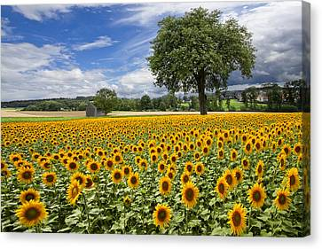 Sunny Sunflowers Canvas Print by Debra and Dave Vanderlaan