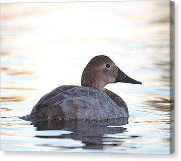 Sunrise Canvasback Canvas Print by Ruth Jolly