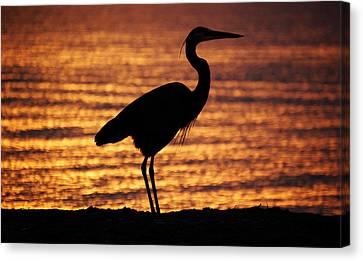 Canvas Print featuring the photograph Sunrise Heron by Leticia Latocki