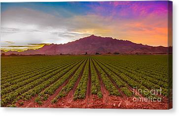 Sunrise Over Lettuce Field Canvas Print by Robert Bales