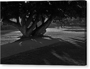 Canvas Print featuring the photograph Sunrise Through Old Tree by Inge Riis McDonald