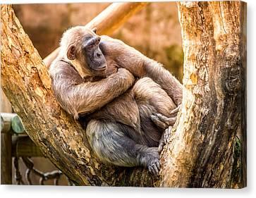 Sunset Chimpanzee Canvas Print by Pati Photography