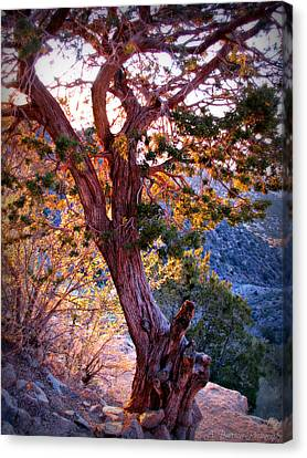 Sunset Colors Of A Juniper Tree Canvas Print