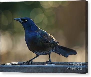 Sunset Grackle Canvas Print