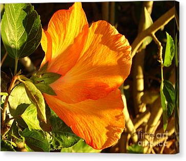 Sunset Hibiscus Canvas Print by Lew Davis