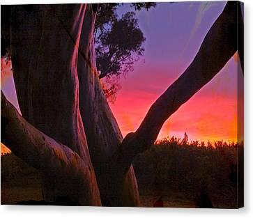 Sunset Madrone 3 Canvas Print