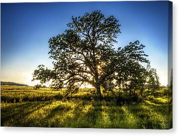 Sunset Oak Canvas Print by Scott Norris