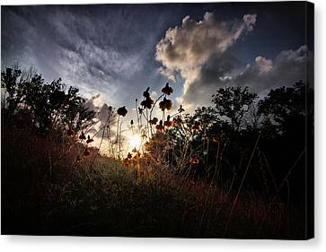 Sunset On Daisy Canvas Print by Linda Unger
