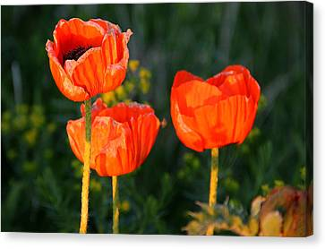 Canvas Print featuring the photograph Sunset Poppies by Debbie Oppermann