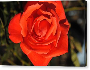 Canvas Print featuring the photograph Sunset Rose by Robert  Moss