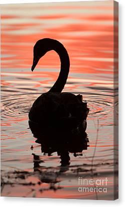 Sunset Swan Canvas Print by Craig Dingle