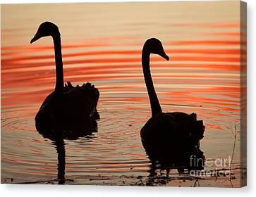 Sunset Swans Canvas Print by Craig Dingle