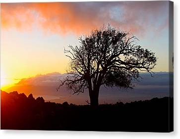 Sunset Tree In Maui Canvas Print by Venetia Featherstone-Witty