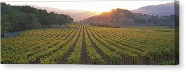 Sunset, Vineyard, Napa Valley Canvas Print