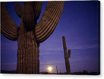 Sunset With Moonise Behind Saguaro Cactus In Desert Southwest Ar Canvas Print