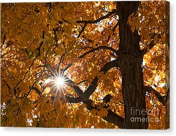 Sunshine Gold Canvas Print
