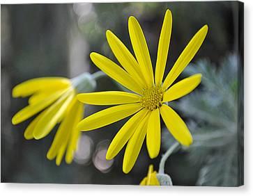 Sunshine In A Flower Canvas Print