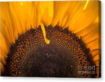 Canvas Print featuring the photograph Sunshine by Jan Bickerton